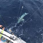 March Islamorada Fishing report shark